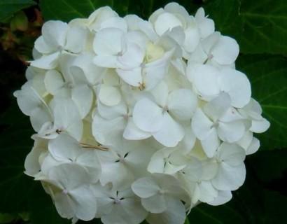 Hydrangea macrophylla 'Mme Emile Mouillère' - Hortensia