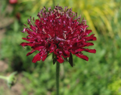 Knautia macedonica (grote pot) - Beemdkroon