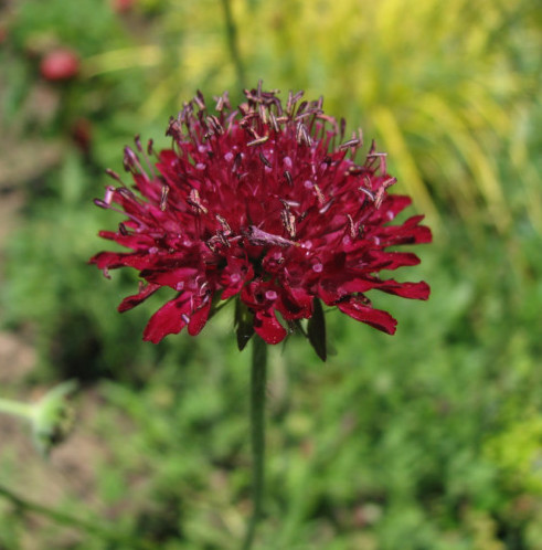 Knautia macedonica pot 3 liter