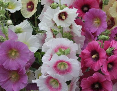 Alcea rosea 'Halo Mix' (grote pot) - stokroos