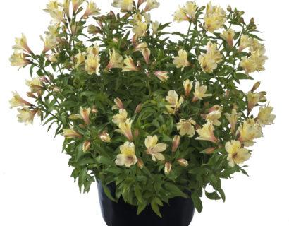 Alstroemeria 'Summer Sky'  (grote pot) - incalelie