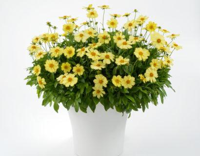 Coreopsis grandiflora Solanna 'Glow'  (grote pot) - meisjesogen