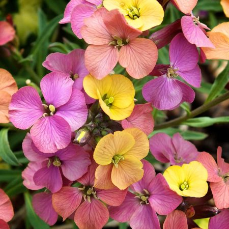 Erysimum 'Artist Paintbox'  (grote pot) - steenraket