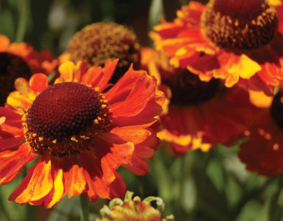 Helenium 'Mardi Gras'  (grote pot) - zonnekruid