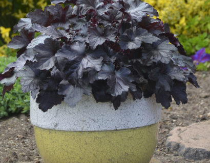 Heuchera 'Black Pearl'  (grote pot) - purperklokje