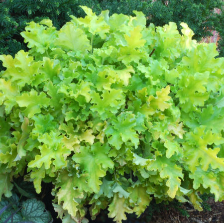 Heuchera 'Lime Marmalade'   (grote pot) - purperklokje