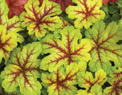 Heucherella 'Alabama Sunrise'   (grote pot) - purperklokje