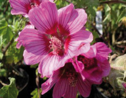 Lavatera 'Eye Catcher'  (grote pot) - struikmalva
