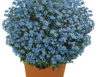 Myosotis sylvativa 'Savoie Blue'  (grote pot) - vergeet-mij-nietje