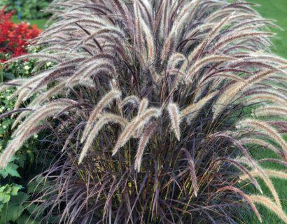 Pennisetum 'Rubrum'   (grote pot) - lampepoetser