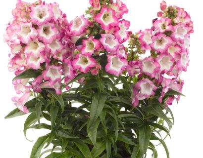 Penstemon 'Pentastic Pink' pot 3 liter - slangenkop