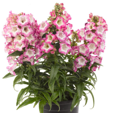Penstemon 'Pentastic Pink' pot 3 liter