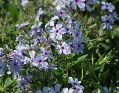 Phlox divaricata 'Chattahoochee'   (grote pot) - voorjaarsvlambloem