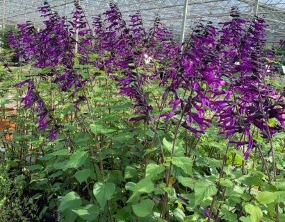 Salvia 'Amistad'   (grote pot) - salie