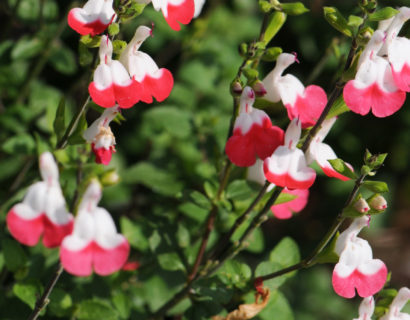 Salvia microphylla 'Hot Lips'   (grote pot) - salie