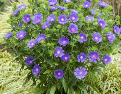 Stokesia 'Mel's Blue'   (grote pot) - korenbloemaster