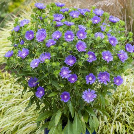 Stokesia 'Mel's Blue' pot 3 liter