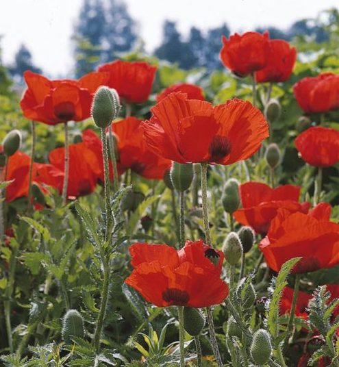 Papaver or. 'Nana Allegro' pot 3 liter