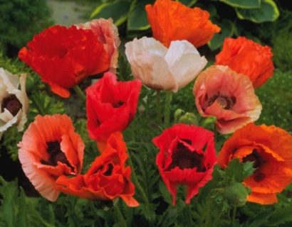 Papaver or. 'Pizzicato Mix' pot 3 liter - klaproos