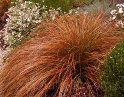 Carex testacea 'Prairie Fire' pot 3 liter