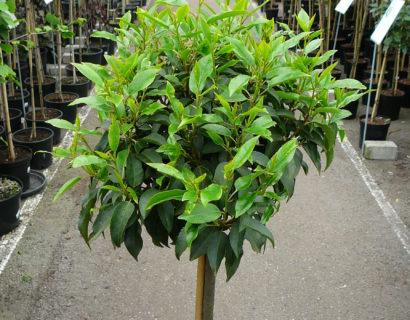 Prunus lusitanica bolvorm op stam - Bolprunus, Portugese laurier bolvorm op stam