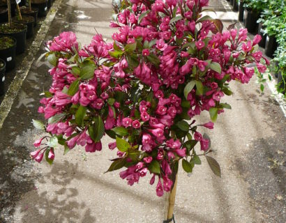 Weigela florida 'Minor Black' op stam - Weigela
