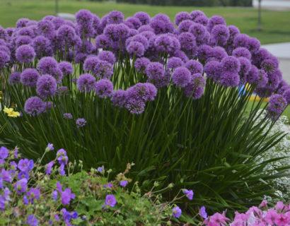Allium 'Millenium' (grote pot) - sierui