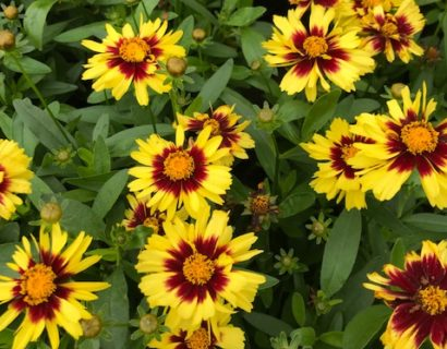 Coreopsis 'Uptick Yellow & Red' - Meisjesogen