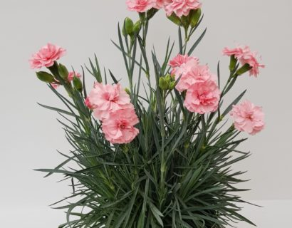 Dianthus patio 'Blush'  (grote pot) - anjer