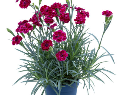 Dianthus patio 'Burgundy'  (grote pot) - anjer