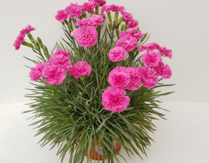 Dianthus patio 'Pink Sapphire'  (grote pot) - anjer
