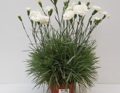 Dianthus patio 'White'  (grote pot) - anjer