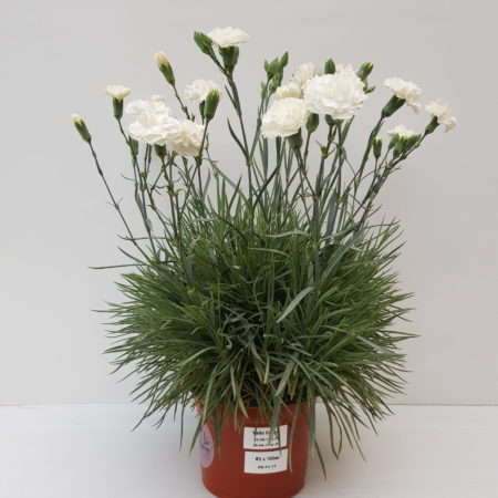 Dianthus patio 'White'  (grote pot) - anjer