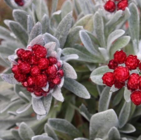 Helichrysum 'Red Jewel'   (grote pot) - kerrieplant