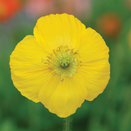 Papaver nud. 'Champagne Bubbels Yellow'   (grote pot) - klaproos