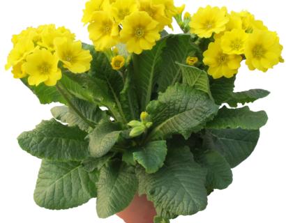 Primula elatior 'Veristar Yellow'  (grote pot) - slanke sleutelbloem