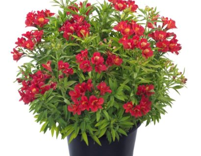 Alstroemeria 'Summer Red' pot 7.5 liter