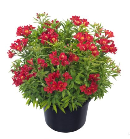 Alstroemeria 'Summer Red' (grote pot) - Incalelie
