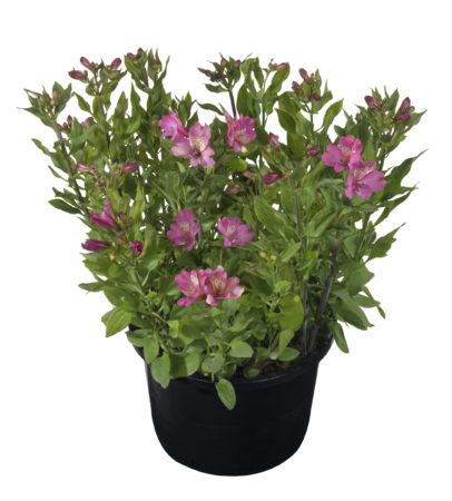 Alstroemeria 'Summer Saint' (grote pot) - Incalelie