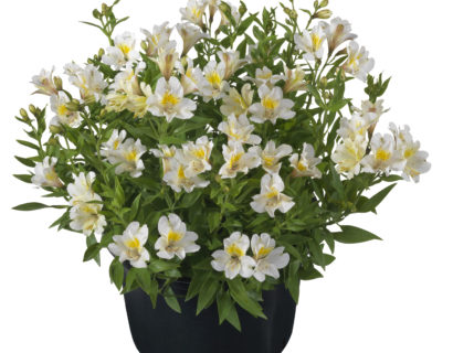 Alstroemeria 'Summer Snow' (grote pot) - Incalelie