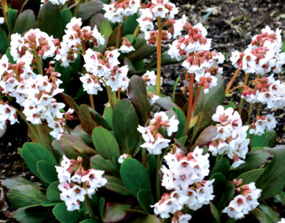 Bergenia Dragonfly 'Angel Kiss' (grote pot) - Schoenlappersplant