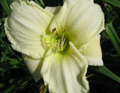 Hemerocallis 'White Temptation' - Daglelie