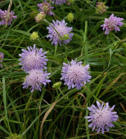 Knautia arvensis - Beemdkroon