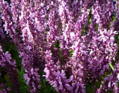 Salvia nemorosa 'Sensation Pink' - Salie