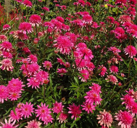 Echinacea 'Mini Belle' (grote pot) - Zonnehoed