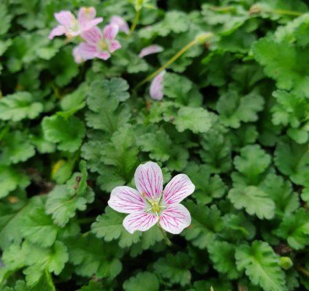 Erodium variabile 'Roseum' - Reigersbek