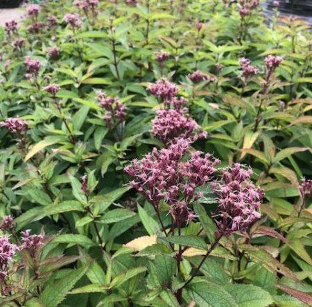 Eupatorium purpureum 'Euphorbia Ruby' - Leverkruid / koninginnenkruid