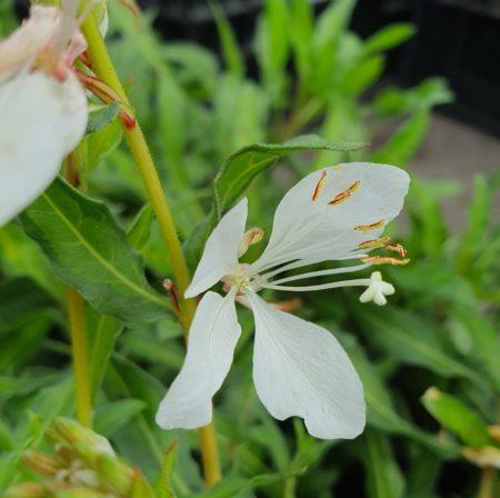 Gaura lindheimeri 'White Dove' - Prachtkaars