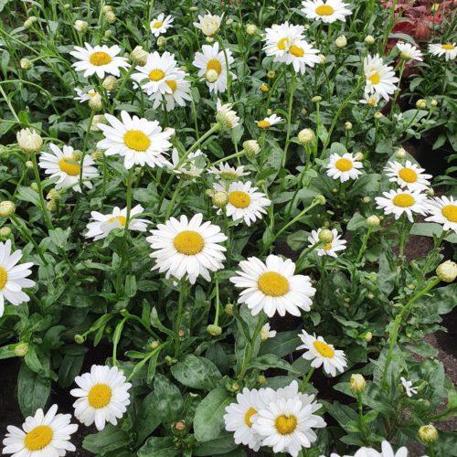 Leucanthemum 'Becky' (grote pot) - Margriet