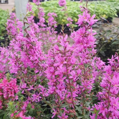 Lythrum 'Dropmore Purple' - Kattestaart